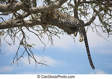 Leopard (Panthera pardus) on the tree. Animal in the wild