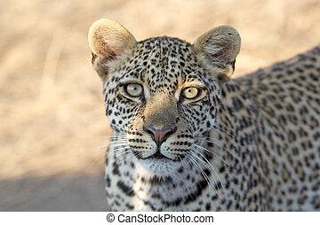 Leopard (Panthera pardus) portrait