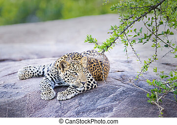 Leopard (Panthera pardus) resting on a rock under an acacia ...