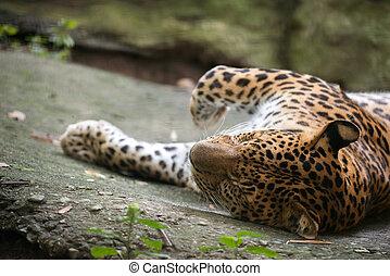 leopard ( Panthera pardus ) resting on floor