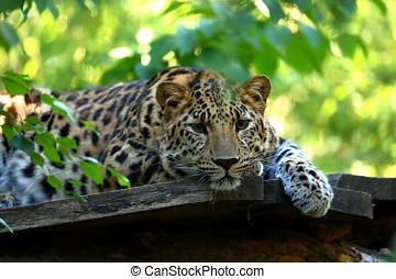 Leopard Panthera pardus resting