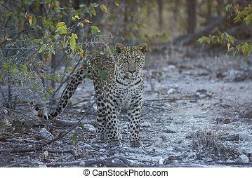 Leopard, Panthera pardus, single mammal, Namibia