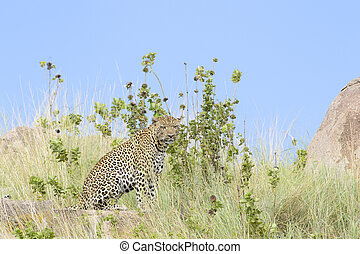 Leopard (Panthera pardus) sitting between grass, with blue ...