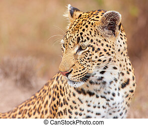 Leopard (Panthera pardus) sitting in savannah