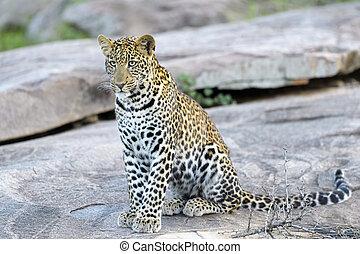 Leopard (Panthera pardus) sitting on a rock, Serengeti ...