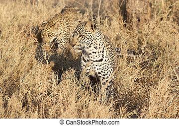 Leopard (Panthera pardus) - Two leopard (Panthera pardus) ...