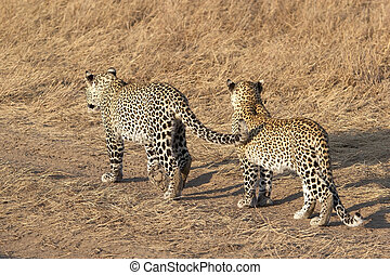 Leopard (Panthera pardus) - Two leopards (Panthera pardus) ...