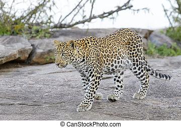 Leopard (Panthera pardus) walking on a rock, Serengeti ...