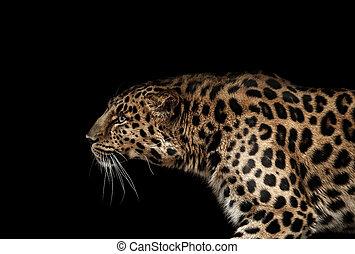 leopard, porträt, auf, schwarz