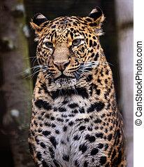 Leopard. - Portrait image of Leopard (Panthera pardus),...