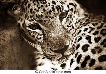 Leopard - Portrait of a leopard (Panthera pardus). Bali....