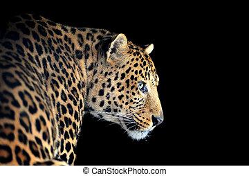 Leopard portrait on dark background