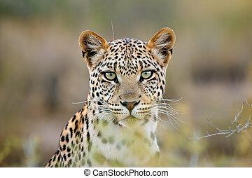 Portrait of a leopard (Panthera pardus), Kalahari desert, South Africa