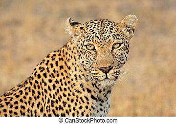 Leopard portrait - Portrait of a leopard (Panthera pardus),...