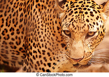 Portrait of a leopard with frontal view