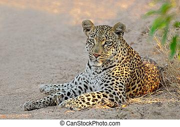 Leopard resting - A female leopard (Panthera pardus)...