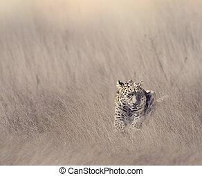Leopard Resting in Grass