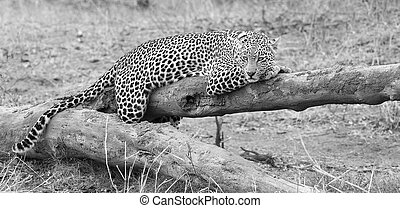 Leopard resting on a fallen tree log rest after hunting artistic conversion