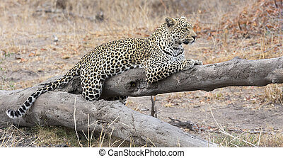 Leopard resting on a fallen tree log rest after hunting