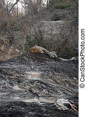 Leopard resting on a rock