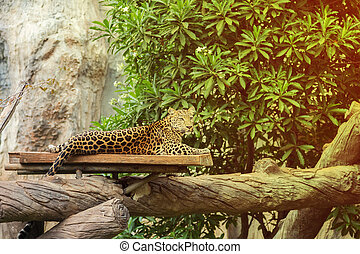 leopard resting on a wood