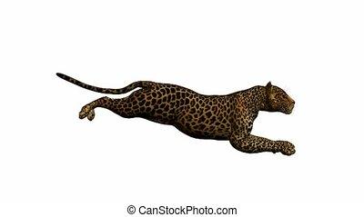 Leopard Running - Leopard running on a white background