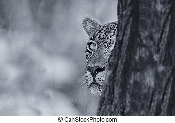 leopard, se, försiktigt, bakifrån, a, träd, hos, rov, in, artistisk, omvandling