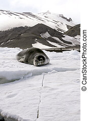 Leopard seal (Hydrurga leptonyx) resting on the ice in...
