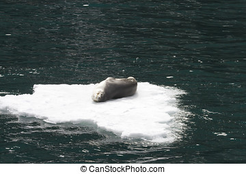 Leopard seal on ice float