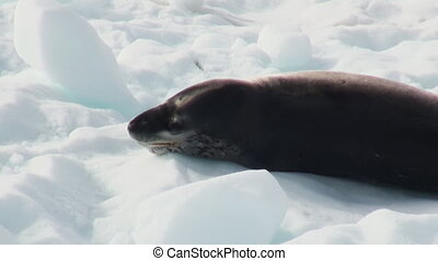 Leopard Seal sleeping on an Iceberg in Antarctica. - Crying...
