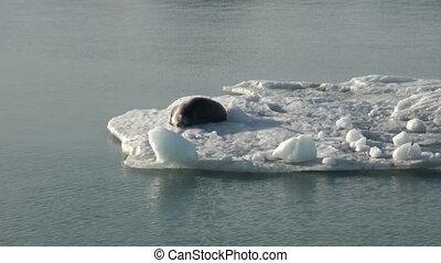 Leopard Seal sleeping on an Iceberg in Arctic.
