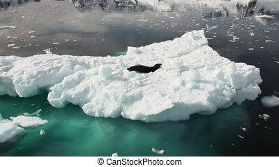 Leopard Seal sleeping on an Iceberg in Antarctica.