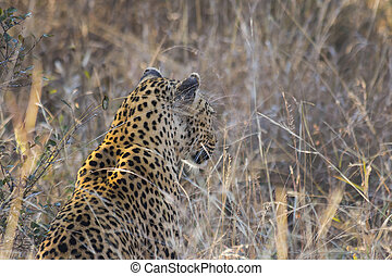 Leopard side profile in long grass 2