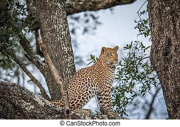 Leopard sitting in a tree.
