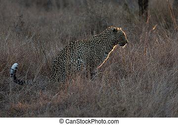 Leopard sitting in darkness hunting nocturnal prey in a spotligh