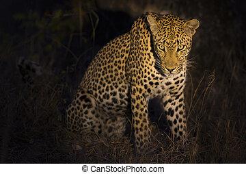Leopard sitting in darkness hunting nocturnal prey in spotlight