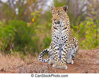 Leopard sitting in savannah - Leopard (Panthera pardus) ...