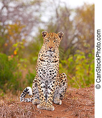 Leopard sitting in savannah - Leopard (Panthera pardus)...