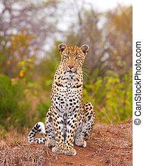 Leopard sitting in savannah - Leopard (Panthera pardus)...