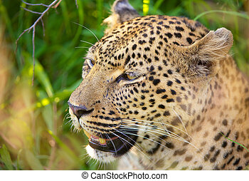 Leopard sitting in the grass
