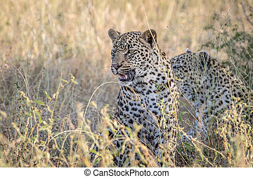 Leopard sitting in the high grass.