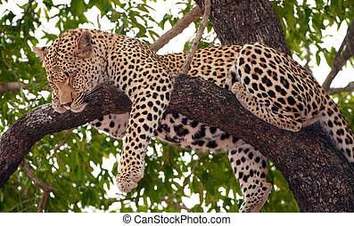 Leopard (Panthera pardus) sleeping on the tree in nature reserve in South Africa