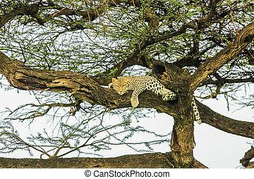 Leopard sleping