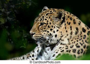 leopard sne