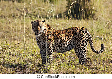 Leopard standing in long grass in the sun looking