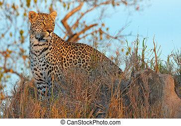 Leopard standing in savannah - Leopard (Panthera pardus)...
