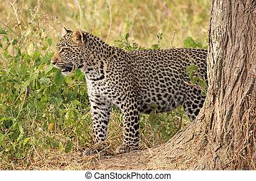 Leopard standing in the bush