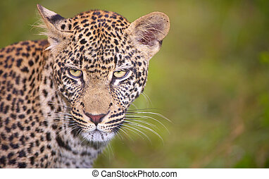 Leopard standing in the grass