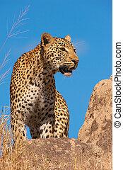 Leopard standing on the rock in savannah