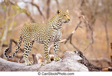 Leopard standing on the tree - Leopard (Panthera pardus)...